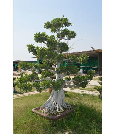 ficus shaimar root