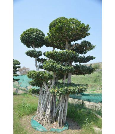 ficus tree 2 meter