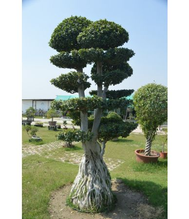 ficus air root thick trunk
