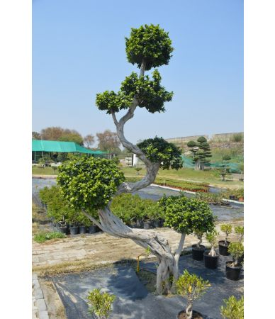 ficus s shape tree