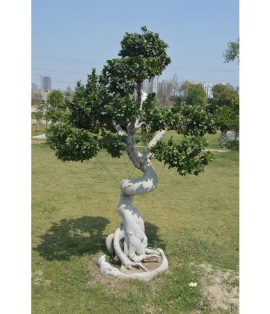ficus dragon root small