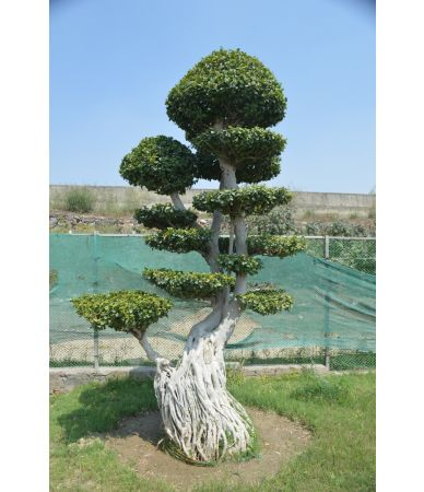ficus air root