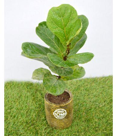 Ficus larata