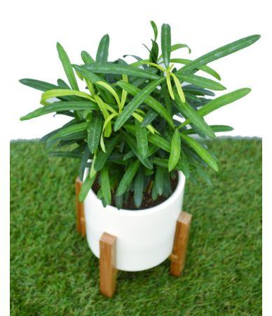 podocarpus small